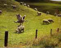wolf cirus  on sheep,many sheep see the circus .wlof circus on the green ground
